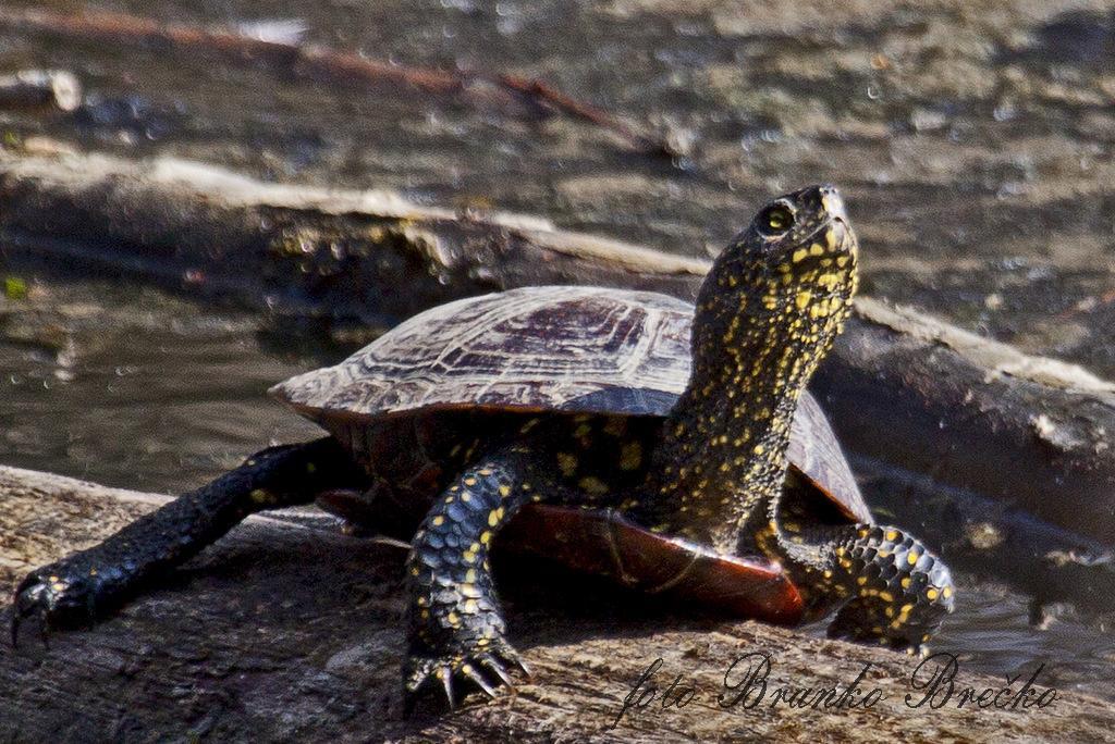 želva močvirska sklednica IMG_1046-001