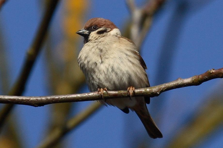 poljski vrabec IMG_7561-001