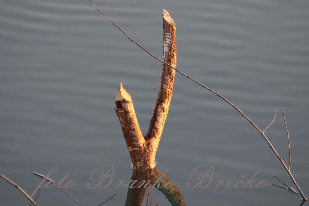 bober je oglodal drevo IMG_9714