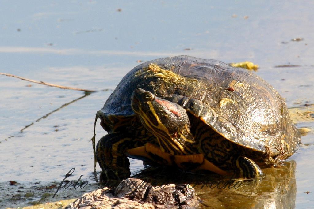 želva rdečevratka IMG_9022-001