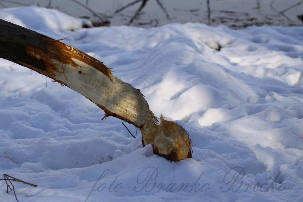 bober drevo IMG_0849-001