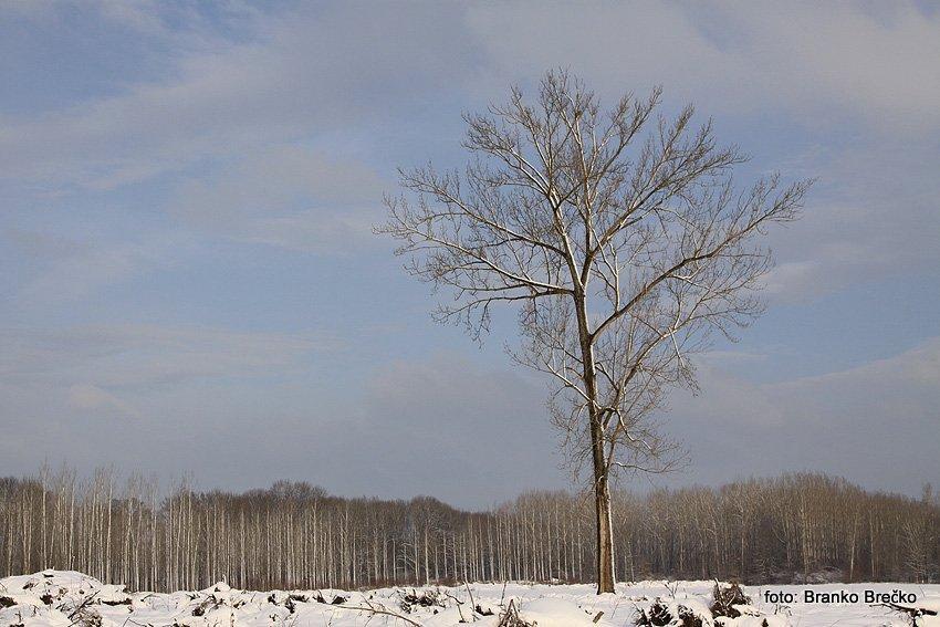 vrbina osamljeno drevo IMG_8544
