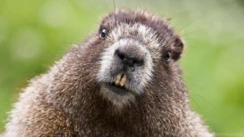 Vrbinski bober